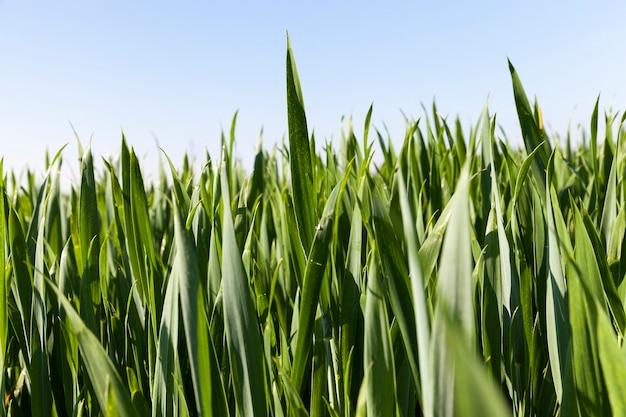 緑のライ麦が育つ農地