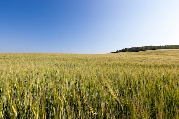 Agricultural field where green wheat grows, agriculture for obtaining grain crops, wheat is young and still immature, landscape of agricultural wheat crops