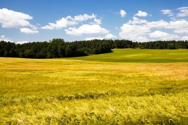 Сельскохозяйственное поле, где растут зеленые незрелые зерна