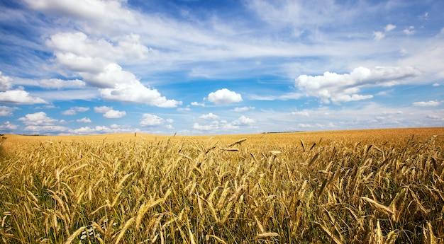 Сельскохозяйственное поле, где выращивают злаки