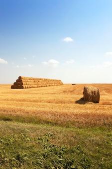 穀物の収穫が行われる農地