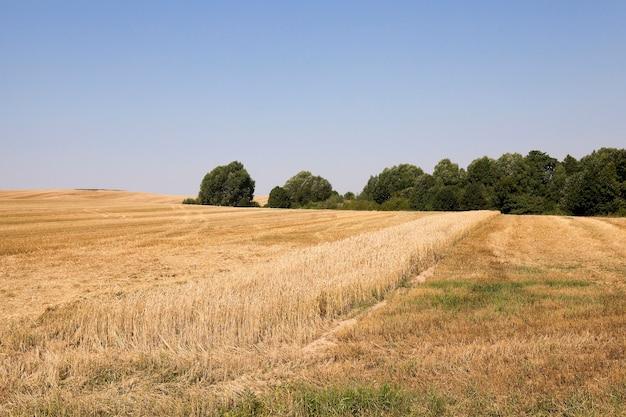 黄ばんだ熟した小麦を収穫する農地