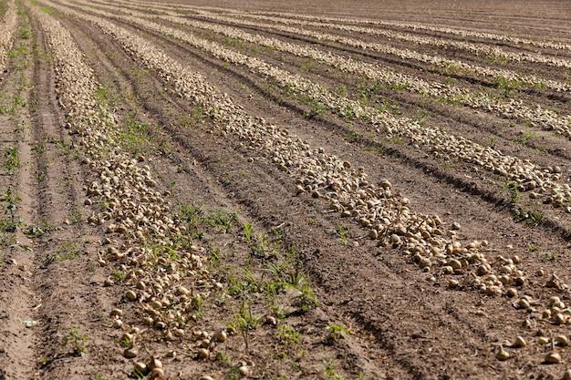 収穫と玉ねぎのある農地