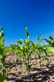 Agricultural field where maize is grown. immature harvest green against the blue sky, photographed close up from the bottom,