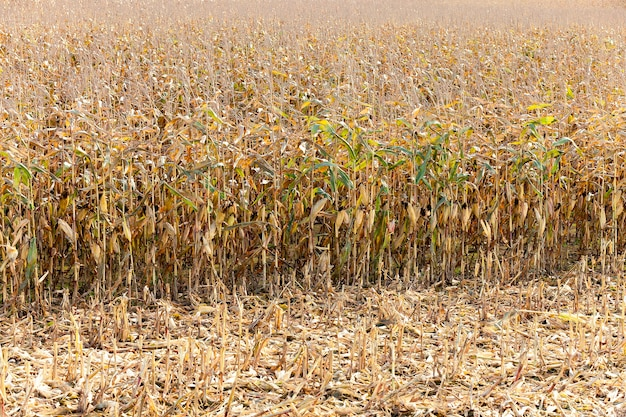 Сельскохозяйственное поле, где выращивают кукурузу. спелая кукуруза