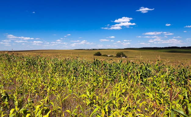 Agricultural field where maize is grown. young green corn sprouted