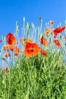 잡초와 붉은 양귀비가 자란 농업 분야