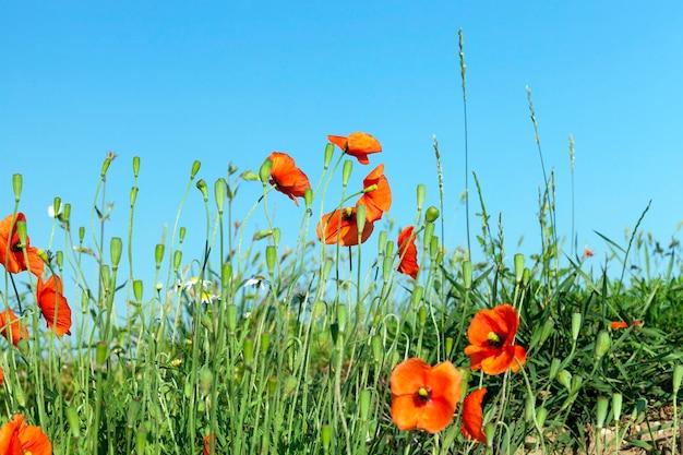 양귀비 빨강, 푸른 하늘 등 잡초가 자란 농업 분야