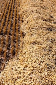 Сельскохозяйственное поле, где пшеничная солома собирается в штабеля для использования в фермерских хозяйствах и сельскохозяйственных предприятиях, золотая пшеничная солома сухая и колючая.