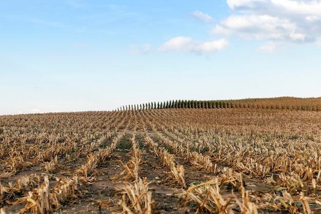 成熟したとうもろこし作物を集めた農地、植物の斜めの黄ばんだ茎がクローズアップ、秋の季節、青い空、