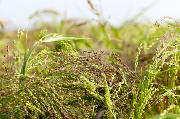 Agricultural field on which the crop of the products necessary for a food of people or animals grows -millet