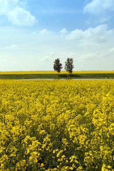 Agricultural field on which grow canola. trees in the background