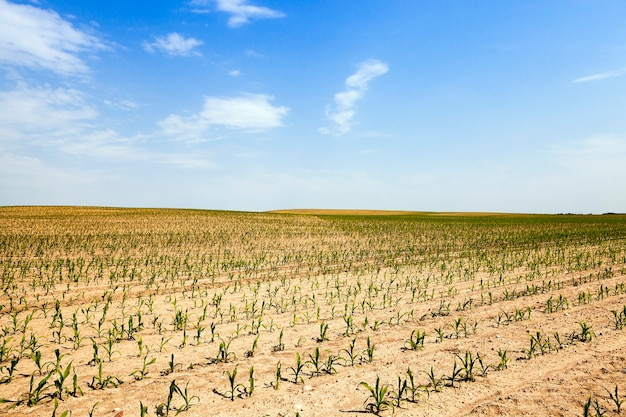 Agricultural field on which grow corn. vegetable
