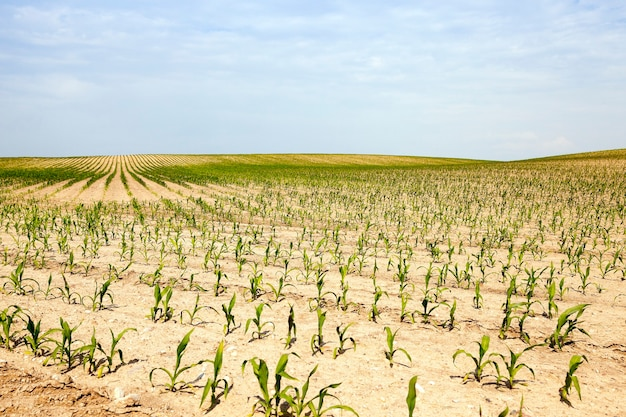 Agricultural field on which grow green  corn.