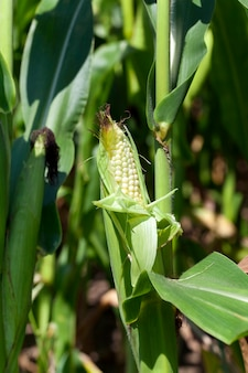 Agricultural field on which grow green maize . corn