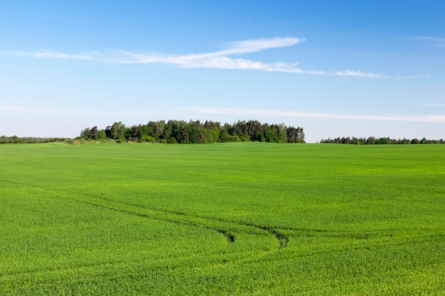 Agricultural field on which grow immature young cereals, wheat. blue sky in the background
