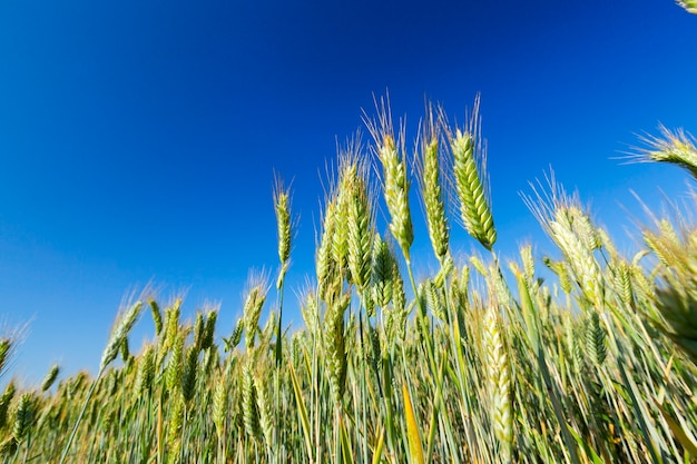 Agricultural field on which grow immature young cereals, wheat. blue sky in the