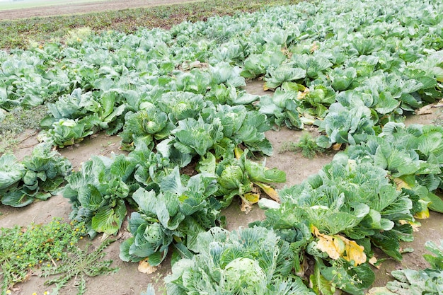 Agricultural field on which grow ripe green cabbage.