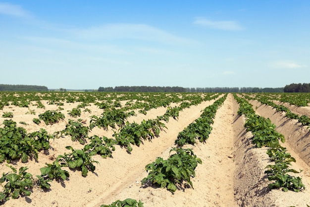 Agricultural field on which grows green potatoes.
