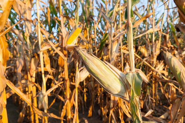Agricultural field on which grows ready for collection yellowed corn