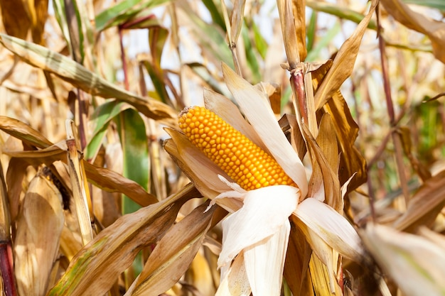 Agricultural field on which grows ready for harvest ripe yellow corn on the cob