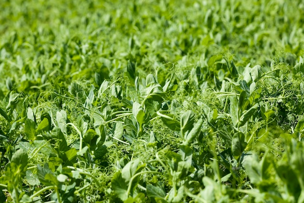 The agricultural field on which grows a small green pea sprout. spring