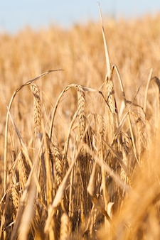 Agricultural field on which it grows ripe, yellow ears of cereal