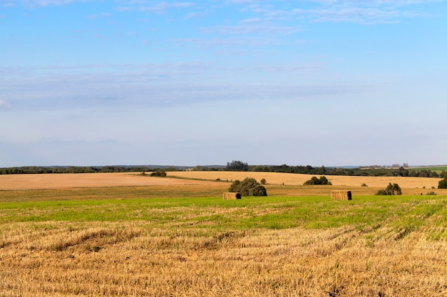 An agricultural field which made harvesting of cereals, wheat. on the field remained unused straw. in the background a blue sky.