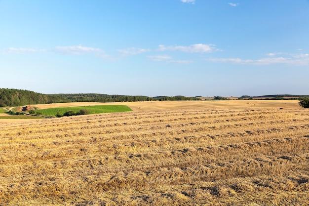 穀物、小麦を収穫した農地。畑には未使用のわらが残っていました。背景には青い空。写真の風景