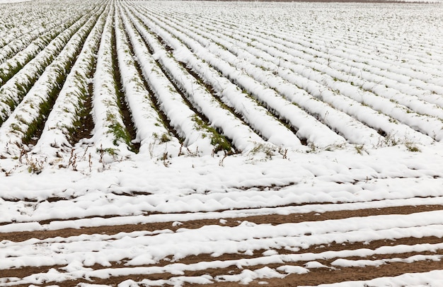 눈으로 뒤덮인 당근을 수확 한 작물이 보이지 않는 농업 분야. 가을 시즌. 클로즈업 촬영하고 고랑을 봅니다. 작은 피사계 심도.