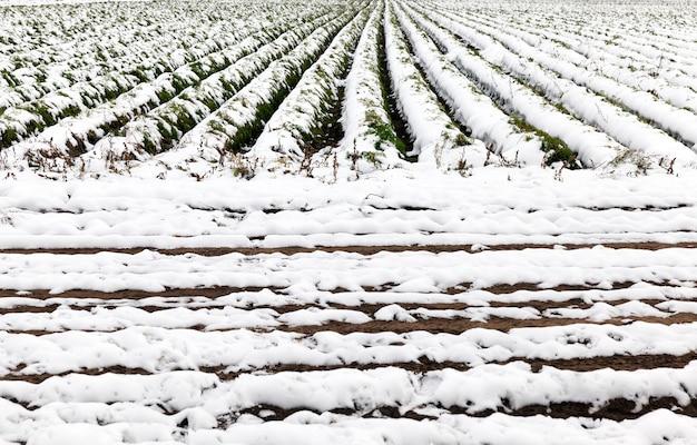 雪に覆われた収穫されたニンジンが見られない農地。秋の季節。クローズアップして、溝を見てください。被写界深度が浅い。