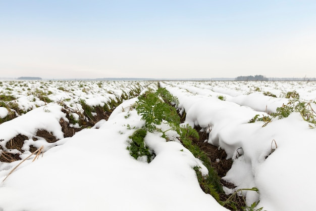 雪に覆われた収穫されたニンジンが見られない農地。秋の季節。