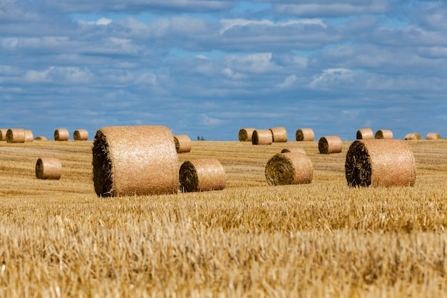 An agricultural field on which straw stacks lie after the wheat harvest, stubble from wheat on a rural field