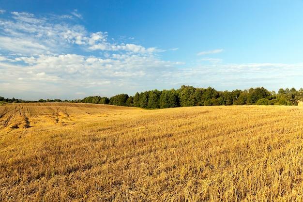 곡물 수확 후 보리 수염이있는 농업 분야, 여름 풍경