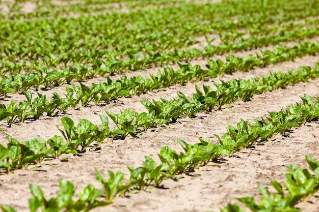 Сельскохозяйственное поле со свеклой
