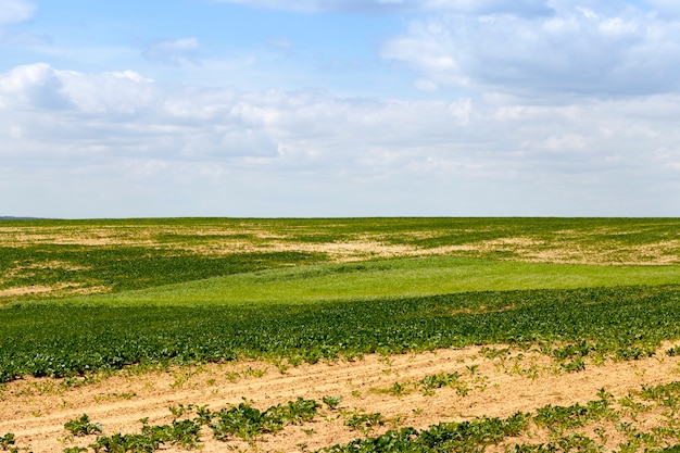 Сельскохозяйственное поле со свеклой, на части поля не росли растения и была яркая почва, летний пейзаж