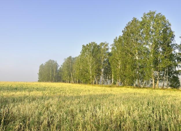 Сельскохозяйственное поле с березками