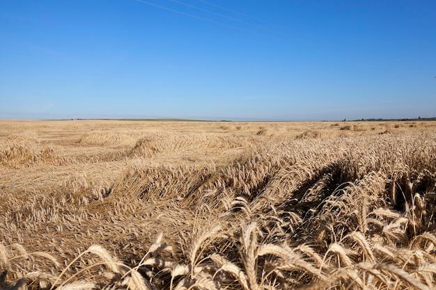 穀物のある農地-農民が穀物を栽培する農地。小麦畑