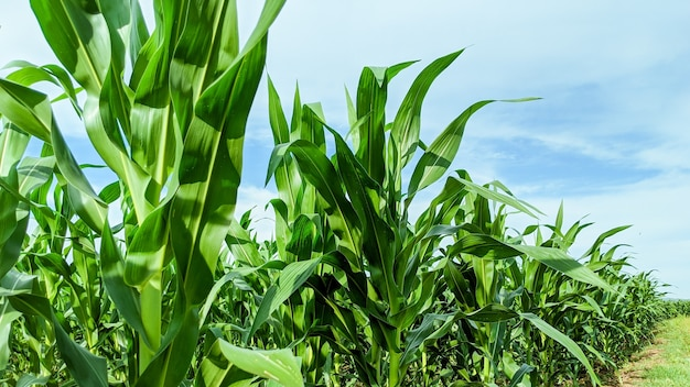 Agricultural field with corn seedlings in sunny day