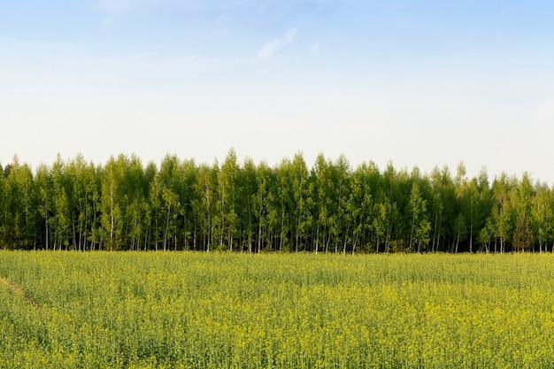 Сельскохозяйственное поле с цветущим рапсом и молодыми зелеными березками весной, пейзаж ранней весной