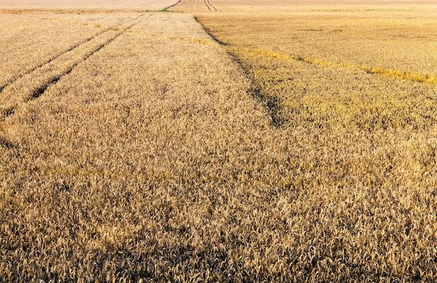 Сельскохозяйственное поле с золотыми сухими стеблями пшеницы, получение большого урожая зерновых