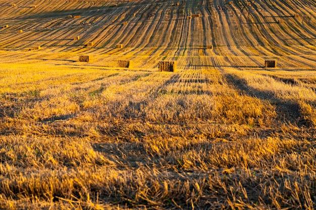 黄金の乾燥小麦の茎のある農地
