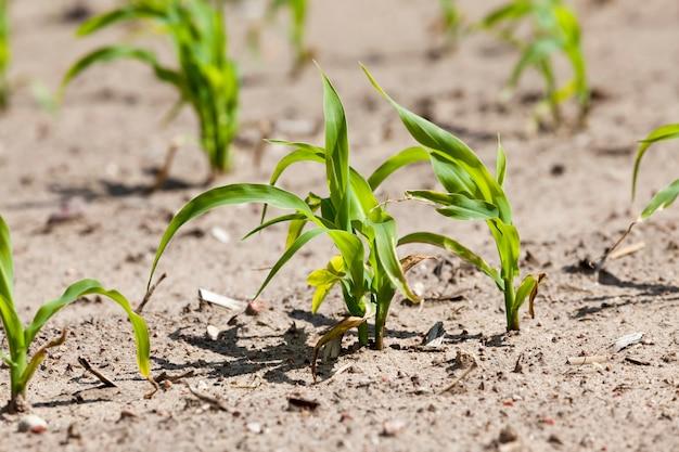 グリーンコーンのある農地、トウモロコシは自然の汚れや汚れ、成長中に現れた損傷、栽培中のトウモロコシのクローズアップがあります