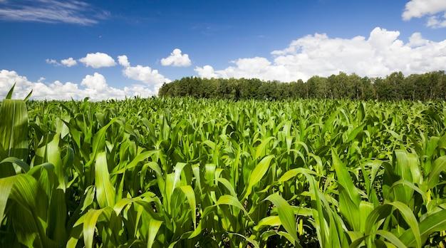 Сельскохозяйственное поле с зеленой кукурузой