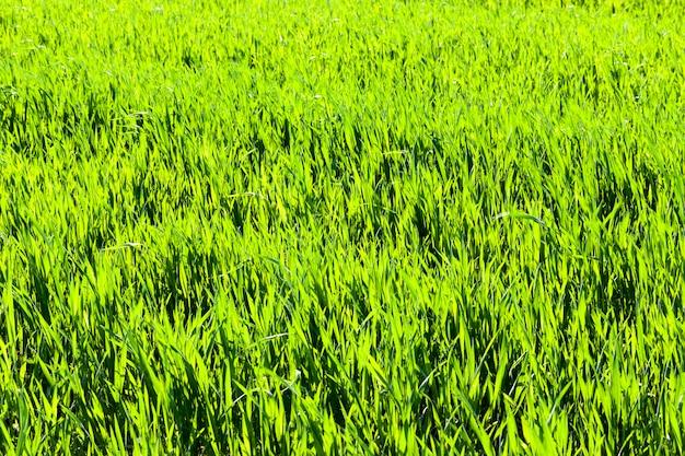 Сельскохозяйственное поле с зеленой травой, на которой растет пшеница, рожь или ячмень, весна