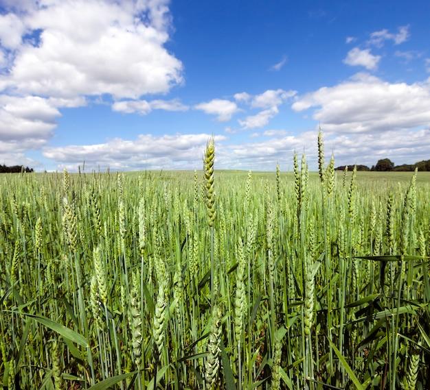 여름에 녹색 설 익은 밀 이삭이있는 농업 분야