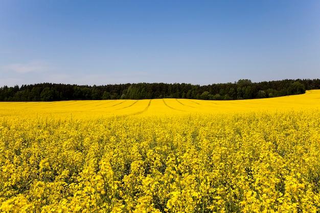 開花カノーラが成長している農地。夏