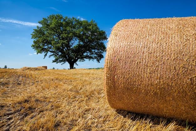 호밀 수확 후 건초 더미가있는 농업 분야
