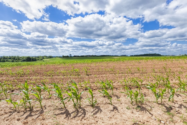 とうもろこしを植えて新しい作物を育てる農地