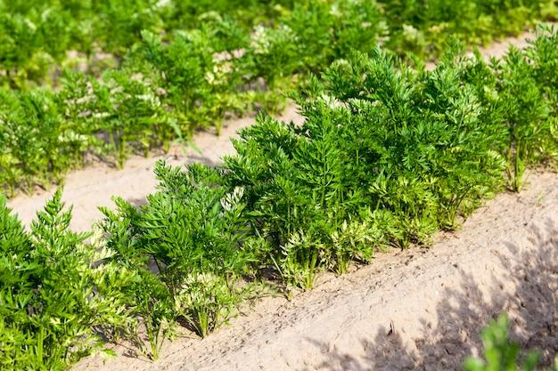유기농 농장에서 자란 식물이있는 농업 분야
